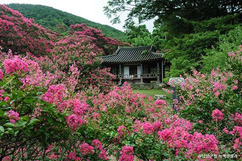 진분홍 배롱나무꽃으로 수놓은 황홀한 여름, 담양 명옥헌 원림